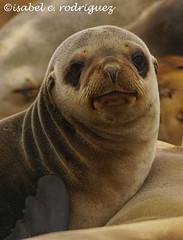 Sea Lion Pup (issyr) Tags: californiasealion juvenile pup baby bigeyed cute adorable sonyalphaa77iidigitalcamera tamron150600mmssmg2lens originalimagesize6000x4000 2018december24 winter california usa unitedstates lajolla sandiego marinelife mammal aquatic animal sealife