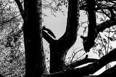 Eichhörnchen 038_Web-compressed (berni.radke) Tags: eichhörnchen sciurus baumhörnchen sciurini eurasischeseichhörnchen scoiattolo eekhoorn squirrel écureuil wiewiórka egern
