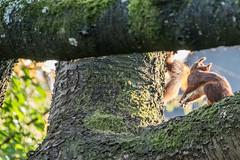 Eichhörnchen 035_Web-compressed (berni.radke) Tags: eichhörnchen sciurus baumhörnchen sciurini eurasischeseichhörnchen scoiattolo eekhoorn squirrel écureuil wiewiórka egern