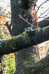 Eichhörnchen 030_Web-compressed (berni.radke) Tags: eichhörnchen sciurus baumhörnchen sciurini eurasischeseichhörnchen scoiattolo eekhoorn squirrel écureuil wiewiórka egern