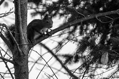 Eichhörnchen 018_Web-compressed (berni.radke) Tags: eichhörnchen sciurus baumhörnchen sciurini eurasischeseichhörnchen scoiattolo eekhoorn squirrel écureuil wiewiórka egern