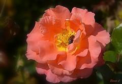 Weekend Rose with Friend (Eleanor (New account))) Tags: flower rose peachrose bee regentspark london uk nikond7100 august2019