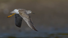 Lesser Yellowlegs  8658 (Paul McGoveran) Tags: bird killdeer lesseryellowlegs nature nikon500mmf4 nikond850 norfolkcounty portdover shorebird silverlake wings coth5