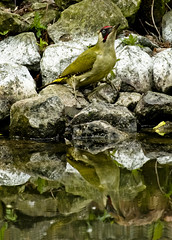 On The Edge (MrBlueSky* Back In The New Year) Tags: woodpecker bird animal wildlife nature outdoor water reflection kewgardens royalbotanicgardens london pentax pentaxlife pentaxart pentaxawards pentaxflickraward pentaxk1mkii aficionados
