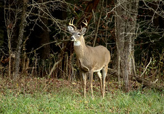 Checking Out The Competition (Diane Marshman) Tags: whitetail deer large animal mature male buck white throat tail brown gray fur antlers points fall autumn rut season trees wood grass leaves standing watching pa pennsylvania nature wildlife