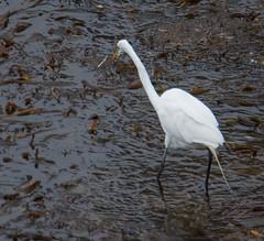 Great Egret (Ardea alba) (ekroc101) Tags: birds greategret ardeaalba california pointlobos