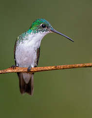 Andean emerald (Eric Gofreed) Tags: amaziliafranciae andeanemerald ecuador hummingbird tandayapabirdlodge