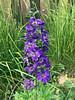 Delphinium (daryl_mitchell) Tags: canada saskatchewan saskatoon summer 2018 flower delphinium