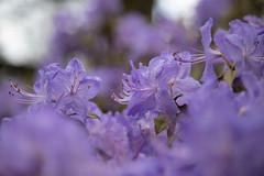 Azalea (louisa_catlover) Tags: nationalrhododendrongardens dandenongrangesbotanicgardens garden nature outdoor spring dandenongs olinda melbourne victoria australia bokeh dof flowers purple azalea rhododendron