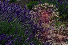 Gartenschönheiten (berndtolksdorf1) Tags: deutschland thüringen gartenblumen blüten flowers pflanzen outdoor