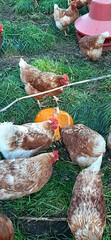 20191027_121616 (CSFS at UBC Farm) Tags: pumpkins