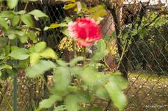 _DSC1396 (Adriano Clari) Tags: fiori flowers mosso giardino garden esperimenti adriano clari erba sfocato macro linee trama campo
