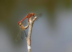 20190830_358c (novofotoo) Tags: gemeineheidelibelle insekten libelle makro natur nature paarungsrad sympetrumvulgatum tiere vagrantdarter animals dragonflies insects macro