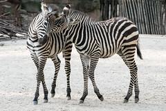 Zebras_Two_024 (villy_yovcheva) Tags: africa african animal background black fauna head herbivore mammal nature park safari skin stripe striped tanzania white wild wildlife zebra zoo