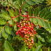 Toyon or Christmas Berry