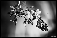 Hanging Out (Ken Mickel) Tags: animals butterfly fineart floral flower flowers flowersplants insects joshuatree joshuatrees kenmickelphotography plants tree wildlife blackandwhite botanical closeup garden gardens nature photography upclose