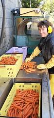 20191030_153514 (CSFS at UBC Farm) Tags: carrots
