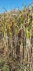 20191030_151802 (CSFS at UBC Farm) Tags: miscanthus
