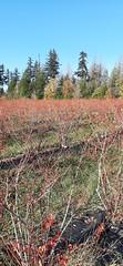 20191030_152052 (CSFS at UBC Farm) Tags: blueberries