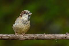 Moineau domestique/House sparrow (jean-francoislavallée) Tags: oiseau bird aves quebec canada nikon sigma moineaudomestique housesparrow nature wildlife