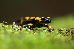Feuersalamander (Silke Hüttche) Tags: feuersalamander salamander