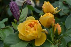 Rose 'Graham Thomas' (A_Decostre) Tags: rose graham thomas