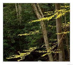 Layers of Yellow (John Cothron) Tags: americansouth betulaalleghaniensis blountcounty cpl canonef70200f4l canoneos5dmkiv cothronphotography dixie eastsouthcentralstates georgiaphotographer greatsmokymountainnationalpark johncothron lynncampprong middlepronglittleriver middleprongtrail southernregion tennessee thesouth townsend tremont us usa usaphotography unitedstatesofamerica volunteerstate yellowbirch autumn circularpolarizingfilter clouds cloudyweather creek fall fallcolor flowing forest freshwater hiking landscape leaves morninglight nature outdoor outside peelingbark plant plantae plants river scenic stream tree trees water img21612171025coweb1122019 ©johncothron2017 layersofyellow