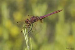 Trithemis annulata. Adult male (Ricardo Menor) Tags: odonatos odonata libélulas dragonfly airelibre iluminaciónnatural canoneos60d macrofotografía insecto trithemisannulata elcoto elcoto2016 2016 macho machoadulto male adultmale
