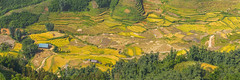 _Y2U4358-60.0919.San Sả Hồ.Sapa.Lào Cai (hoanglongphoto) Tags: asia asian vietnam northvietnam northernvietnam landscape scenery vietnamlandscape vietnamscenery terraces terracedfields terracedfieldsinvietnam morning morningsunshine sunny sunlight harvest seasonharvest canon canoneos5dsr canonef70200mmf28lisiiusm làocai ruộngbậcthang buổisáng nắng nắngsớm lúachín mùagặt house ngôinhà manyhouses nhữngngôinhà panorama northwestvietnam tâybắc sapa sansảhồ theforest forest rừng ruộngbậcthangsapa sapamùagặt sapamùalúachín phongcảnhsapa