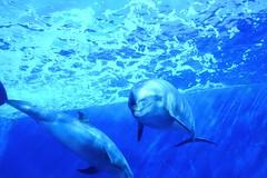 dolphin (Anna Fuoco) Tags: dolphin aquarium blue yokohama 横浜八景島シーパラダイス animal イルカ