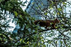 Eichhörnchen 017_Web-compressed (berni.radke) Tags: eichhörnchen sciurus baumhörnchen sciurini eurasischeseichhörnchen scoiattolo eekhoorn squirrel écureuil wiewiórka egern