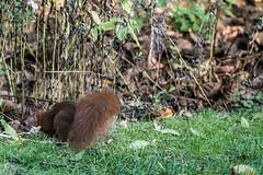 Eichhörnchen 043_Web-compressed (berni.radke) Tags: eichhörnchen sciurus baumhörnchen sciurini eurasischeseichhörnchen scoiattolo eekhoorn squirrel écureuil wiewiórka egern