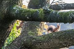 Eichhörnchen 033_Web-compressed (berni.radke) Tags: eichhörnchen sciurus baumhörnchen sciurini eurasischeseichhörnchen scoiattolo eekhoorn squirrel écureuil wiewiórka egern