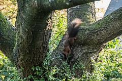 Eichhörnchen 028_Web-compressed (berni.radke) Tags: eichhörnchen sciurus baumhörnchen sciurini eurasischeseichhörnchen scoiattolo eekhoorn squirrel écureuil wiewiórka egern