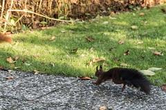 Eichhörnchen 023_Web-compressed (berni.radke) Tags: eichhörnchen sciurus baumhörnchen sciurini eurasischeseichhörnchen scoiattolo eekhoorn squirrel écureuil wiewiórka egern