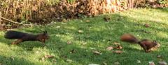 Eichhörnchen 024_Web-compressed (berni.radke) Tags: eichhörnchen sciurus baumhörnchen sciurini eurasischeseichhörnchen scoiattolo eekhoorn squirrel écureuil wiewiórka egern