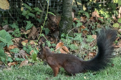 Eichhörnchen 022_Web-compressed (berni.radke) Tags: eichhörnchen sciurus baumhörnchen sciurini eurasischeseichhörnchen scoiattolo eekhoorn squirrel écureuil wiewiórka egern