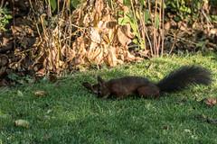 Eichhörnchen 020_Web-compressed (berni.radke) Tags: eichhörnchen sciurus baumhörnchen sciurini eurasischeseichhörnchen scoiattolo eekhoorn squirrel écureuil wiewiórka egern