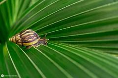 Sliding through (Lr Home) Tags: a6000 macro sel30m35 nature lrhome ©2019ローレンス snail shell leaf leaves