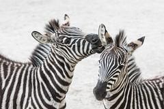 Zebras_Two_032 (villy_yovcheva) Tags: africa african animal background black fauna head herbivore mammal nature park safari skin stripe striped tanzania white wild wildlife zebra zoo