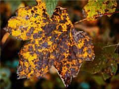 Autumn colours (Ostseetroll) Tags: deu deutschland geo:lat=5414706894 geo:lon=1040897004 geotagged plön prinzeninsel schleswigholstein herbst autumn laub autumnleaves makroaufnahme macroshot olympus em10markii schleswihholstein