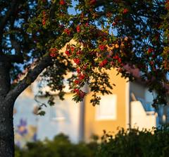 Uppsala, September 26, 2019 (Ulf Bodin) Tags: autumn sorbusaucuparia sverige fålhagen backsippan canonrf85mmf12lusm uppsala rönnbär outdoor höst canoneosr sweden rowanberries uppsalalän
