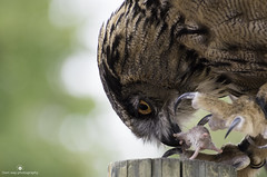 Breakfast (www.ownwayphotography.com) Tags: wild animal background portrait wildlife bird white head owl beak feather looking predator nature isolated prey closeup face eye brown black eyes front tyto night close hunter up barn view