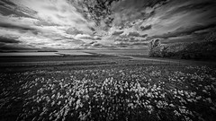 White Floral Wide View (Alfred Grupstra) Tags: nature blackandwhite ruralscene outdoors landscape cloudsky field sky nopeople scenics grass meadow beautyinnature summer cloudscape europe tree land nonurbanscene agriculture flowers ijsselmeer lake wideangle