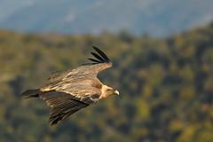 vautour (frederic.laroche6) Tags: vautour fauve verdon animalier bird oiseau nikon