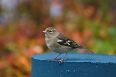 Chaffinch (Rev Paul O'Connor) Tags: duchally clc bird autumn chaffinch
