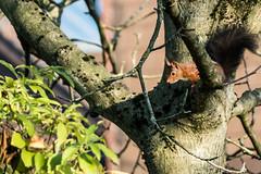 Eichhörnchen 044_Web-compressed (berni.radke) Tags: eichhörnchen sciurus baumhörnchen sciurini eurasischeseichhörnchen scoiattolo eekhoorn squirrel écureuil wiewiórka egern