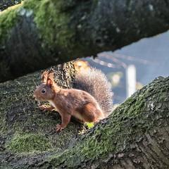 Eichhörnchen 036_Web-compressed (berni.radke) Tags: eichhörnchen sciurus baumhörnchen sciurini eurasischeseichhörnchen scoiattolo eekhoorn squirrel écureuil wiewiórka egern