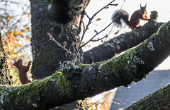 Eichhörnchen 031_Web-compressed (berni.radke) Tags: eichhörnchen sciurus baumhörnchen sciurini eurasischeseichhörnchen scoiattolo eekhoorn squirrel écureuil wiewiórka egern