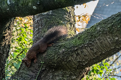 Eichhörnchen 027_Web-compressed (berni.radke) Tags: eichhörnchen sciurus baumhörnchen sciurini eurasischeseichhörnchen scoiattolo eekhoorn squirrel écureuil wiewiórka egern